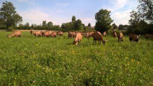 chèvres paturant sur parcelle mélange suisse Jura 47